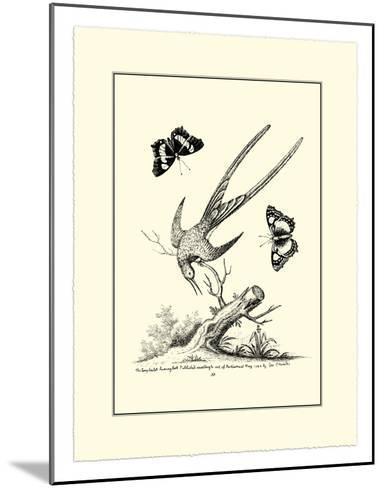 Longtailed Hummingbird , c.1742-George Edwards-Mounted Giclee Print