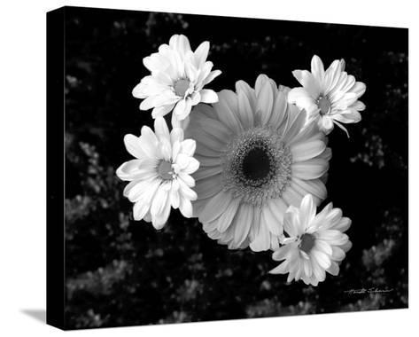 Gerber Daisies-Harold Silverman-Stretched Canvas Print