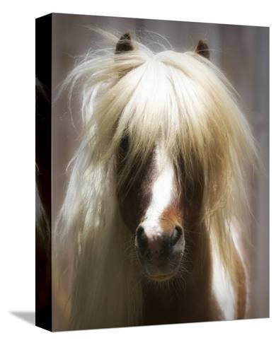 Shetland Pony-Melanie Snowhite-Stretched Canvas Print