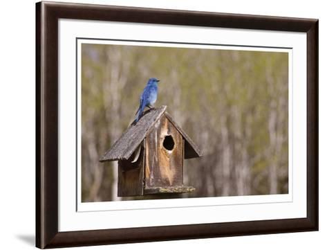 Mountain Bluebird-Donald Paulson-Framed Art Print