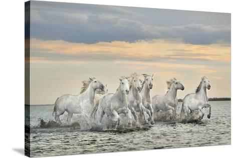 Camargue Horses - France-Xavier Ortega-Stretched Canvas Print