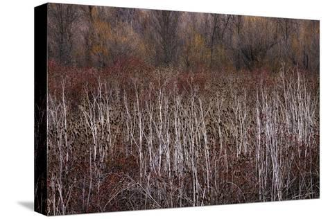 Teasel and Rosehips III-David Winston-Stretched Canvas Print