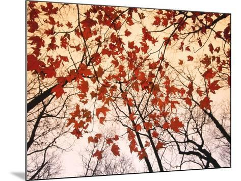 Red Maple and Autumn Sky-Raymond Gehman-Mounted Art Print