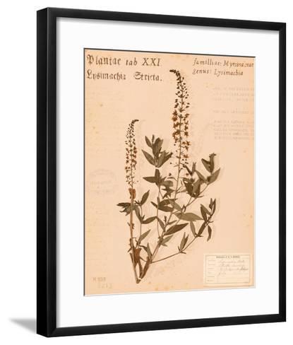 Stricta Loosestrife-H. T. Shores-Framed Art Print