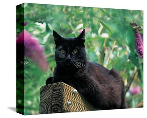 Black Cat Sitting On The Fence--Stretched Canvas Print