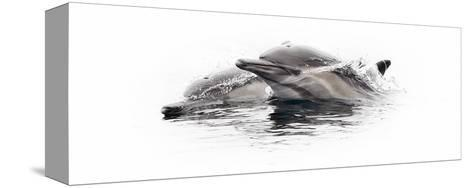 Curious Dolphin 1-Steve Munch-Stretched Canvas Print