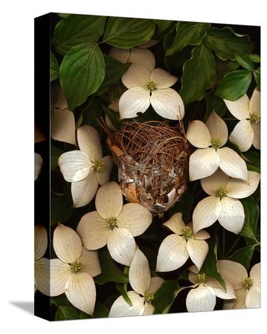 Bird nest kousa dogwood--Stretched Canvas Print