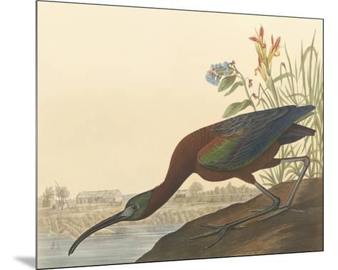 The Glossy Ibis-John James Audubon-Mounted Premium Giclee Print