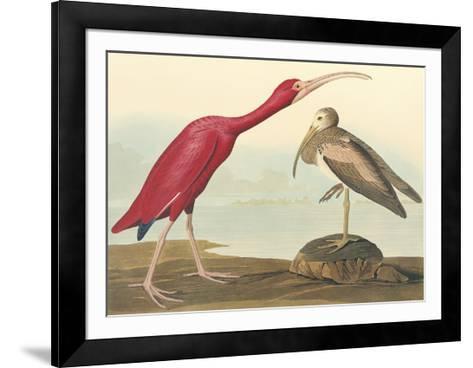 The Scarlet Ibis-John James Audubon-Framed Art Print