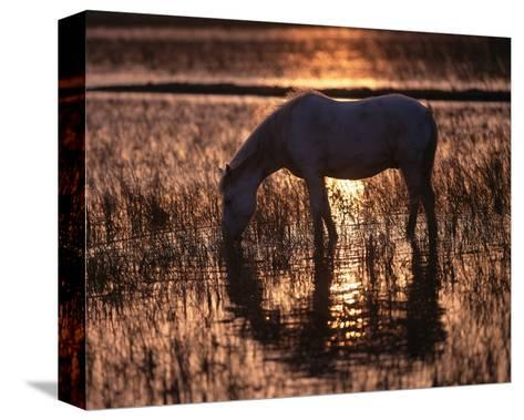 Camargue horse in the evening light--Stretched Canvas Print