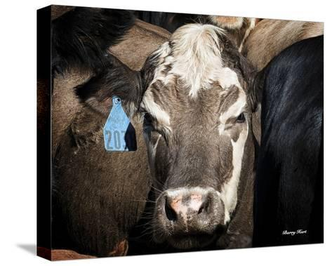 Cow #1-Barry Hart-Stretched Canvas Print