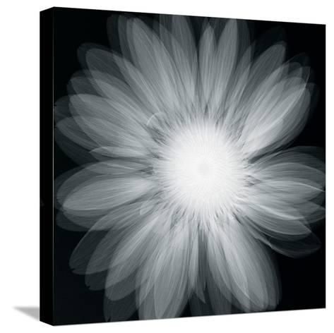 Gerbera Glow-Hugh Turvey-Stretched Canvas Print