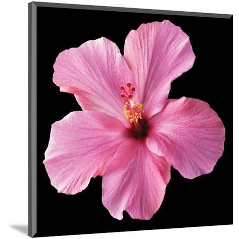 Pink Hibiscus-Christine Zalewski-Mounted Art Print