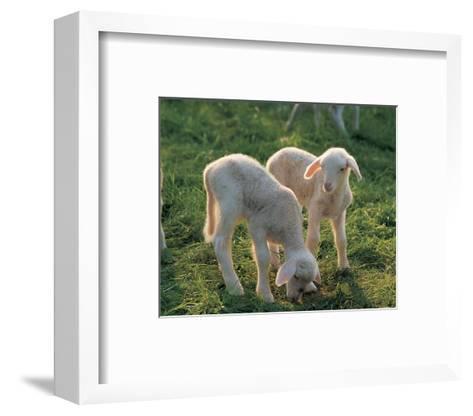 Lambs--Framed Art Print