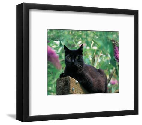 Black Cat Sitting On The Fence--Framed Art Print