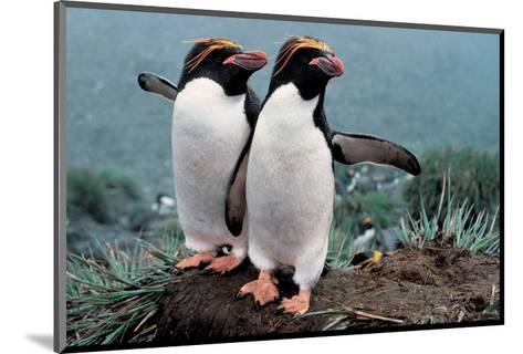 Pair Of Rock-Hopper Penguins--Mounted Art Print