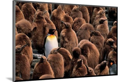 Emperor Penguin and Chicks--Mounted Art Print