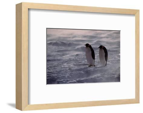 Penguins Waiting Out The Storm--Framed Art Print