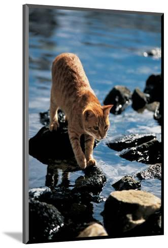Cat Going From Stone To Stone--Mounted Art Print