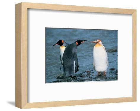 Two King Penguins And Albino--Framed Art Print
