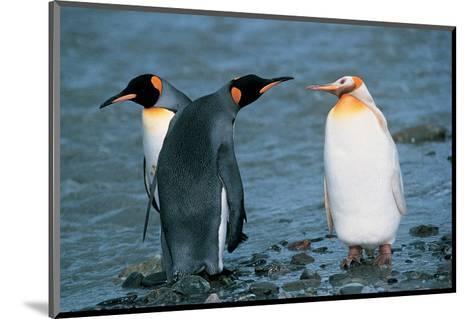Two King Penguins And Albino--Mounted Art Print