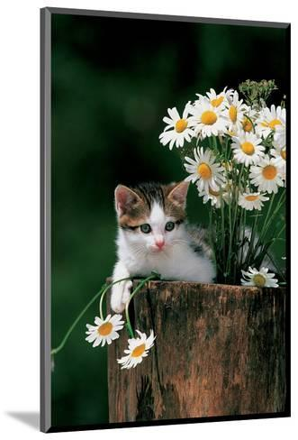 Kitten With Camomiles--Mounted Art Print