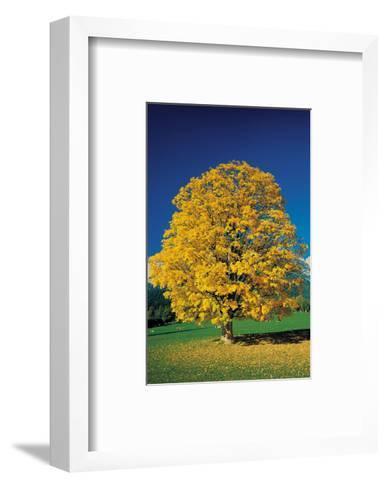 Golden Glowing Beech--Framed Art Print
