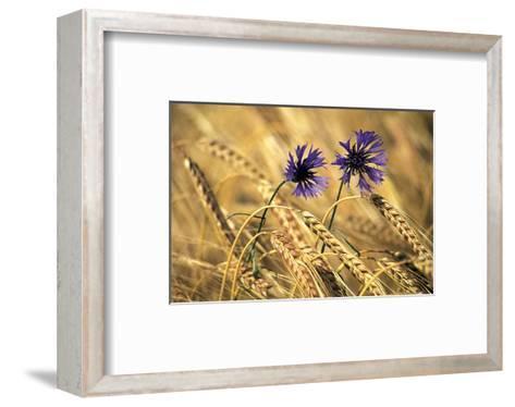 Corn Flowers--Framed Art Print