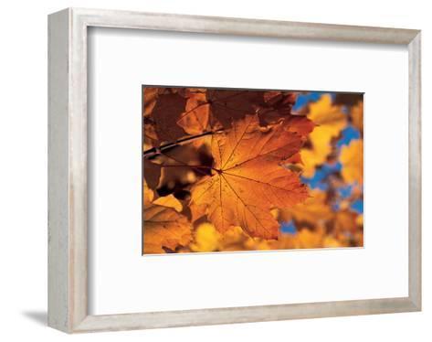 Golden Coloured Maple Leaf--Framed Art Print
