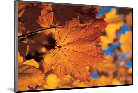 Golden Coloured Maple Leaf--Mounted Art Print