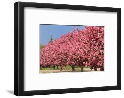 Crabapple Blossoms-Mike Grandmaison-Framed Art Print