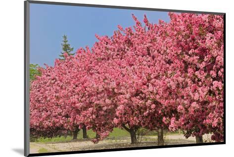Crabapple Blossoms-Mike Grandmaison-Mounted Art Print