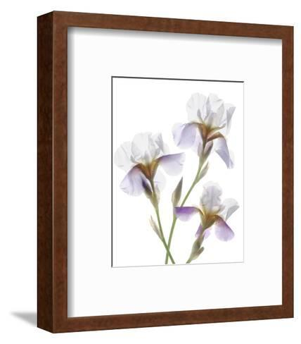 Shades of Purple Iris-Judy Stalus-Framed Art Print