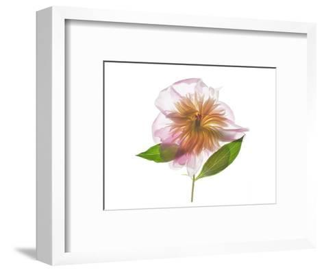 Gold and Pink Peony-Judy Stalus-Framed Art Print