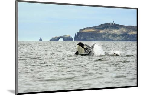 Orca Whale with Dolphin-Steve Munch-Mounted Art Print