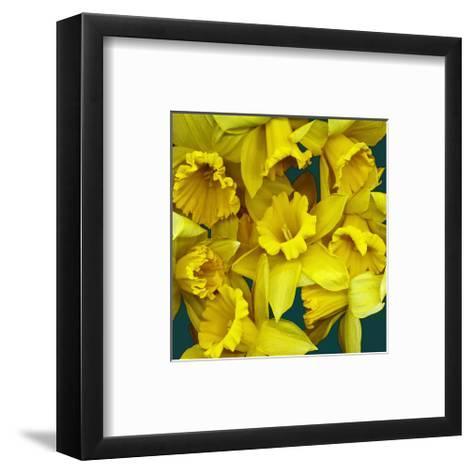 Daffodils yellow Flowers--Framed Art Print
