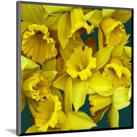 Daffodils yellow Flowers--Mounted Art Print