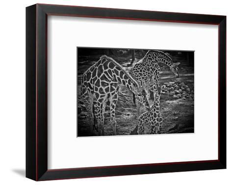 Giraffes B+W-Michael Polk-Framed Art Print