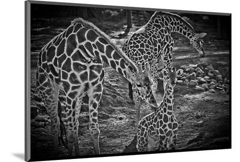 Giraffes B+W-Michael Polk-Mounted Art Print
