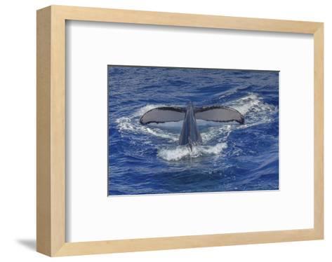 Maui Humpback Whale-Michael Polk-Framed Art Print