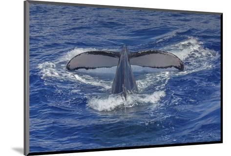 Maui Humpback Whale-Michael Polk-Mounted Art Print