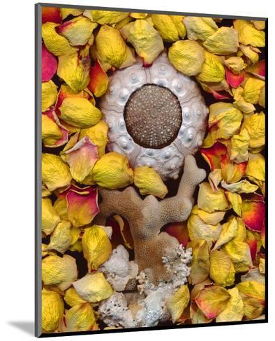 Sea Urchin rose Petals--Mounted Art Print