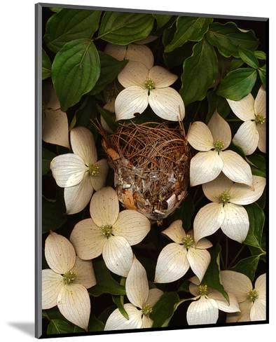 Bird nest kousa dogwood--Mounted Art Print