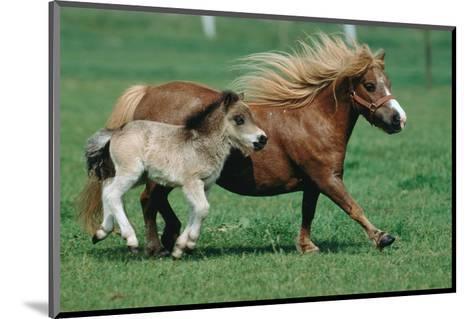 Shetland pony mare with foal--Mounted Art Print
