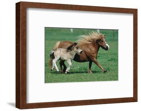 Shetland pony mare with foal--Framed Art Print