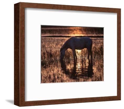 Camargue horse in the evening light--Framed Art Print