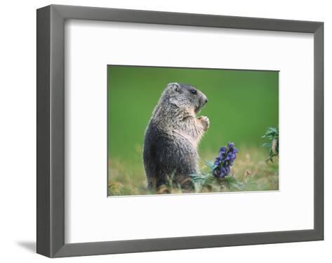 Alpine marmot (Marmota marmota)--Framed Art Print