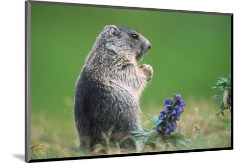 Alpine marmot (Marmota marmota)--Mounted Art Print