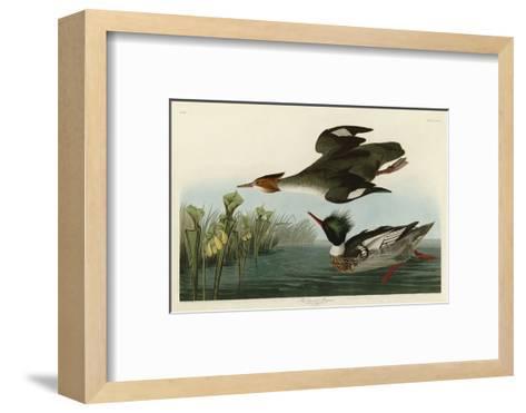 Red Breasted Merganser-John James Audubon-Framed Art Print