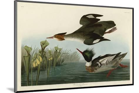 Red Breasted Merganser-John James Audubon-Mounted Art Print